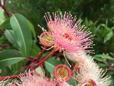 Eucalyptus, radiata
