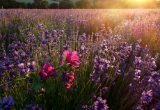Lavendel,-Speik