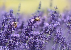 Lavendel, berg