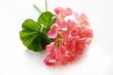 Geranium, Rosen (Rosengeranie)